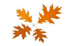 Four brown autumn leaves Royalty Free Stock Photos