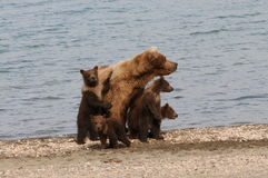 Four Brown Bear Cubs Royalty Free Stock Photos
