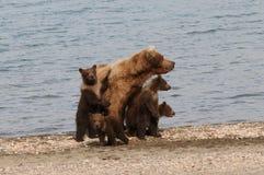 Four Brown Bear Cubs. And their mom on the beach at Katmai National Park Royalty Free Stock Photos