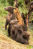 Four brown bear cubs in diagonal line Royalty Free Stock Photo