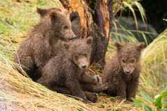 Four brown bear cubs sitting by tree Royalty Free Stock Image