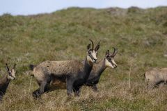 Four brown chamois. In the austrian alps Stock Photography