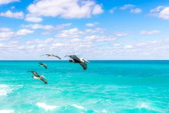 Four Brown Pelicans Flying at Daytime Stock Photo