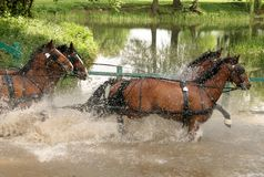 Four brown carriage horses. Running through water Stock Image
