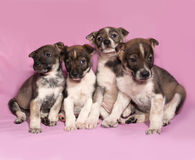 Four brown and white puppy sitting on pink Royalty Free Stock Images