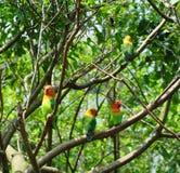 Four budgerigars Stock Photos