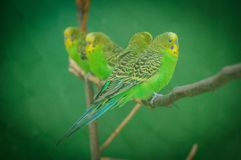Four Budgerigars on branch in cage stock image
