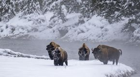 Bison herd at river`s edge with snowy faces stock photography