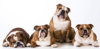 Four bulldogs Stock Image