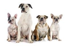 Four bulldogs Stock Photos