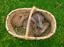 Four bunnies in basket Stock Photo