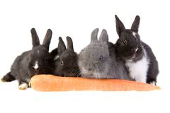 Four bunny and a big carrot royalty free stock photo