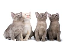 Four burma kittens Royalty Free Stock Photo