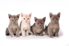 Four burma kittens Royalty Free Stock Image