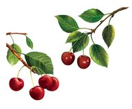 Two cherry branches. Ripe red cherries with green  Royalty Free Stock Photos