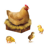 Chicken on a perch with three little chicks. Reali Stock Photos