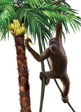 Chimpanzee on a palm eating a banana. Isolated Ill Stock Photo