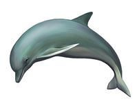 Young Dolphin. Isolated realistic illustration on  Royalty Free Stock Photography