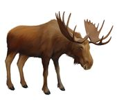 Moose. Adult male elk.Isolated realistic illustrat Royalty Free Stock Photos