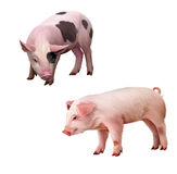 Two little piglets pink and spotted. Isolated illu Royalty Free Stock Image