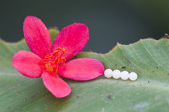 Four butterfly eggs Royalty Free Stock Photo