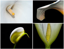 Four Calla Lillies Stock Photography
