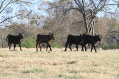 Four calves walking in spring pasture stock images