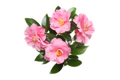 Four Camellia flowers Stock Images