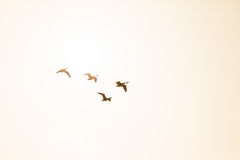 Four Canada Geese in flight backlit by the morning sunshine Royalty Free Stock Image