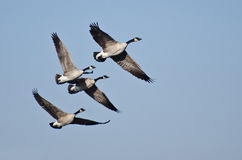 Four Canada Geese Flying in Blue Sky Royalty Free Stock Image