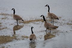 Four Canada Goose standing in the creek Stock Images