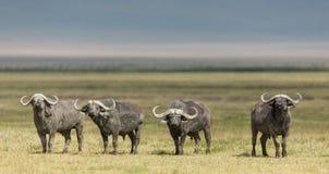 Four Cape Buffalo Bulls in the Ngorongoro Crater, Tanzania Royalty Free Stock Photos