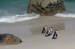 Four Cape Penguins. On a white sand beach Royalty Free Stock Images