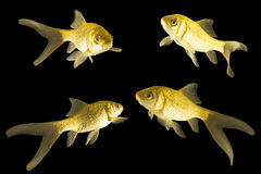 Four carp. Carp-like fish goldfish with a long tail on a black background Royalty Free Stock Photo
