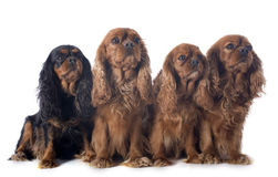 Four cavalier king charles Royalty Free Stock Image