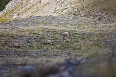 Four Central Asian ibex grazing in the Tien Shan mountains, Stock Image