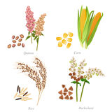 Four cereals in form of grains and ears stock illustration