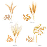 Four cereals in form of grains and ears Royalty Free Stock Photo
