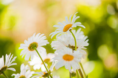 Four chamomile Royalty Free Stock Photography