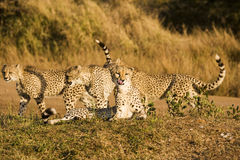 Four Cheetah On Safari. Four cheetah cubs playing near a road while on safari in the Phinda Game Reserve. The cheetah (acinonyx jubatus) is a member of the cat Royalty Free Stock Photos