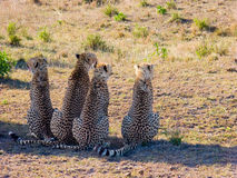 Four cheetahs Stock Photos
