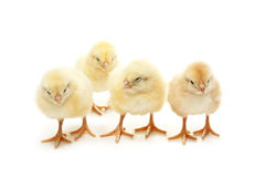 Four chicken Stock Photography