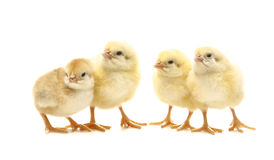 Four chicken. Four newborn chicken in line Royalty Free Stock Photography
