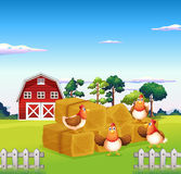 Four chickens in the hay with a barn at the back Stock Photography