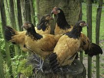 Four chickens stand on a tree trunk royalty free stock photography