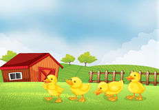 Four chicks in the farm with a barn and a wooden fence Stock Photos