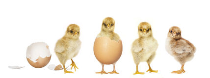 Four chicks hatching royalty free stock photos