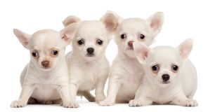 Four Chihuahua puppies, 2 months old stock images