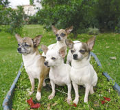 Four chihuahuas Royalty Free Stock Images