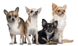 Four Chihuahuas, 6 months old, 3 years old Stock Images